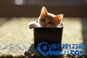 好的茶杯猫多少钱一只 茶杯猫价格