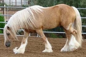 世界上最重的马排行榜,英国夏尔马635公斤(荣登榜首)