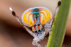 动物之最:世界上最美的蜘蛛会跳舞?