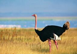 世界上最大的鸟,北非鸵鸟(重达155公斤)