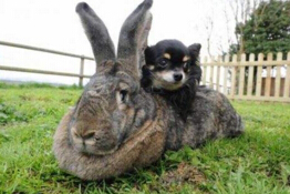 世界上最大的兔子,大流士兔子重达45斤(一年吃4320根胡萝卜)