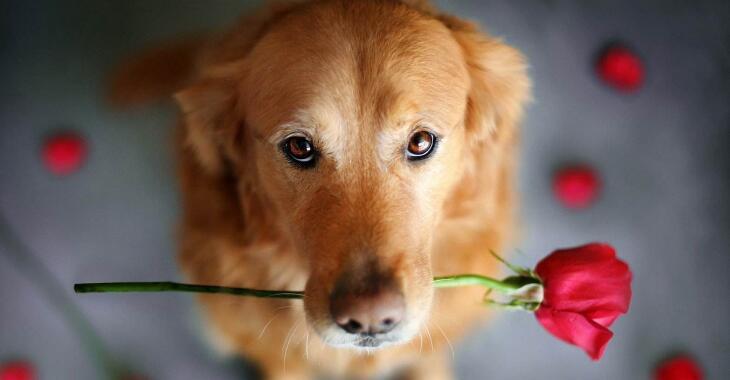 狗狗智商排名,79只最聰明的狗狗排名大全(泰迪第二)