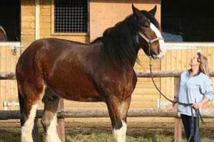 世界上最重最高大的马