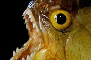 世界上最凶的鱼:南美吃人鱼(图)
