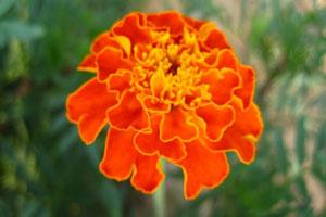 世界上最贵的菊花品种:白色万寿菊