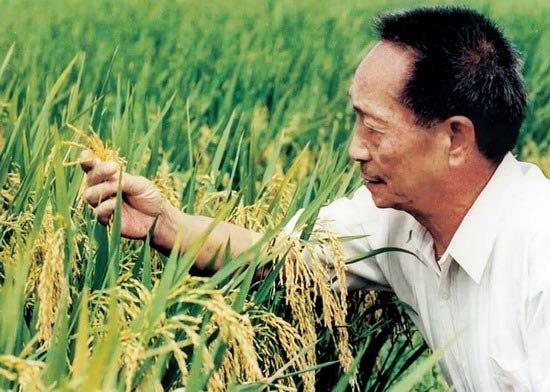 水稻最高亩产多少斤?袁隆平超级杂交水稻1149.02公斤(世界纪录)