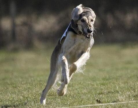 世界上最贵的狗的品种排名:第一名混种猎犬有狼的血统