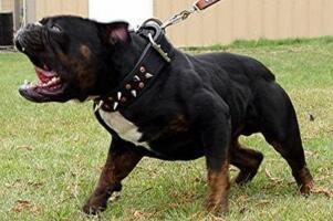 世界上最凶猛的狗排名,比特犬吊打藏獒称霸