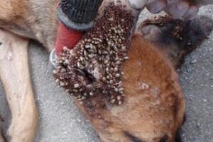 狗狗最恶心的疾病:蜱虫狗(内附图片恶心慎点)