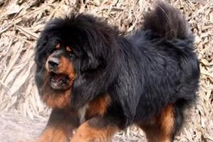 世界上最兇猛的犬種排名