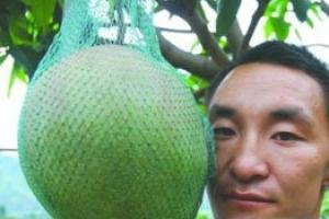 世界上最大的芒果 重達8斤