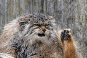 世界上最凶猛的猫:帕拉斯猫