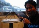 世界上最大的蚊子:金腹巨蚊 比一般蚊子大十倍左右