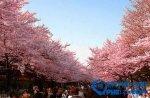 日本十大赏樱胜地排行榜