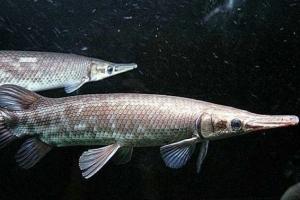 世界十大兇猛罕見的淡水魚排行榜