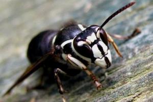 自然界蜇人最疼的十大昆虫排行榜 蜇人最疼的昆虫