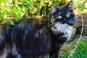 世界上猫毛最长的猫:最长可达25.68厘米
