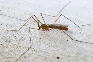 世界上最大的蚊子 比一般的蚊子大10倍