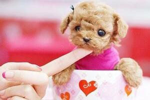 世界上最小的狗,约克夏梗犬贝尔(长5厘米/重170克)