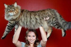 世界上最大的猫:缅甸猫Stewie(长1.23米)