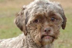 世界上长得最像人的狗,长相太像人而没人敢收养