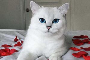 世界上最漂亮的猫眼睛,美的让人窒息的蓝眼睛【组图】