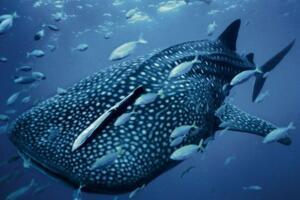 世界上最温顺的鲨鱼,鲸鲨(体型庞大却只吃小鱼)