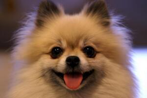 博美狗的寿命是多少年?14-20岁(附饲养方法及年龄鉴定方法)