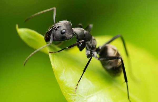 鬼吹灯中沙漠行军蚁真的吃人吗?二战时被食人蚁吃掉的德国部队