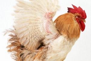 世界上最重的鸡,白斑鸡重达10千克(鸡中之王)