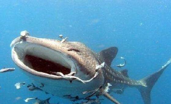 世界最大鱼视频_世界上最大的淡水鱼,巨型黄貂鱼重达0.36吨(八个壮士才能抬起