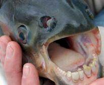 世界上最奇特的动物排行榜,人齿鱼专吃男性睾丸