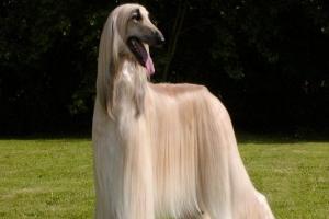 世界上最美的狗排行榜 十大最美宠物狗