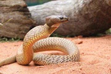 世界上最毒的蛇排名,貝爾徹海蛇毒性是眼鏡王蛇的200倍