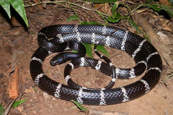 中国十大毒蛇排名图片,看看中国最毒的蛇是什么蛇?