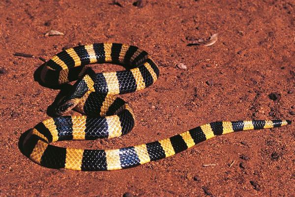 世界十大毒动物_中国十大毒蛇排名图片,看看中国最毒的蛇是什么蛇?(3)_排行榜 ...
