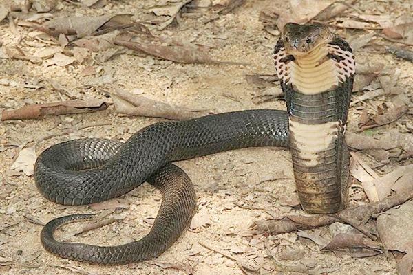中国十大毒蛇 眼镜王蛇