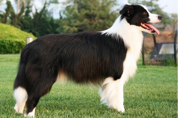 世界上智商最高的狗:边境牧羊犬,智商相当于8岁小孩
