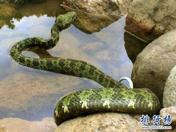 世界上最大五头蛇_世界上的彩虹蛇,沃那比蛇(创造了澳大利亚的主要景色)_排行榜123网