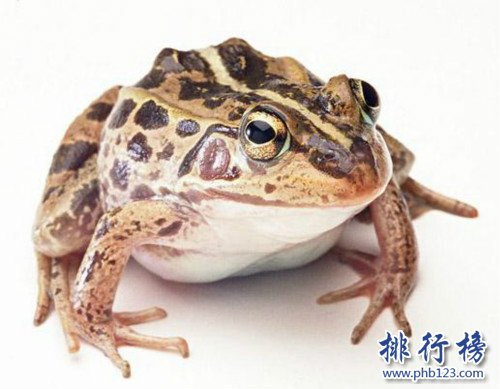 世界上专门用来吃的青蛙,稻香蛙(改良版虎纹蛙)