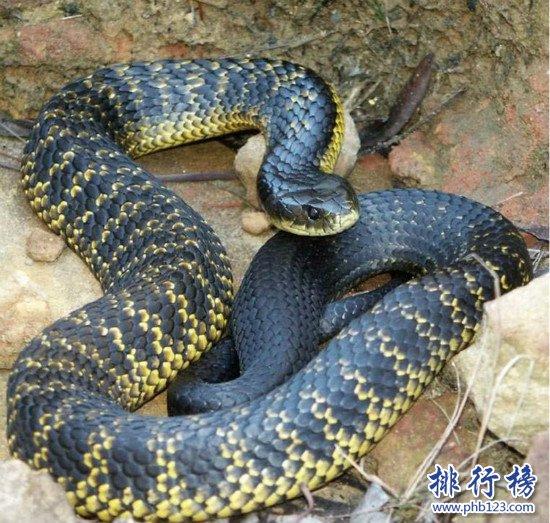 世界上最可爱蛇排名_世界上十大最毒的蛇排行榜,细鳞太攀蛇一口毒死25万只老鼠(2 ...