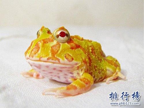 """世界上最""""招财""""的青蛙,黄金角蛙(也被称作招财蛙)"""