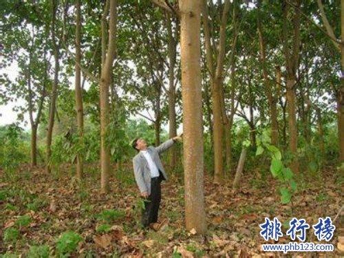 世界上生长最快的树,轻木10年能长16米(6米/1年)