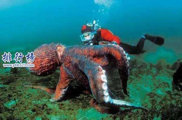世界上最大的章鱼有多大,太平洋巨星章鱼长9.1米重544斤