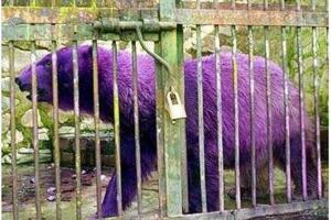 世界上最漂亮的北极熊:紫色北极熊,因病变异(图)