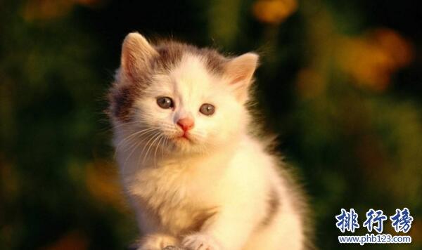 世界上最小的猫:新加坡猫,体重不超过2公斤