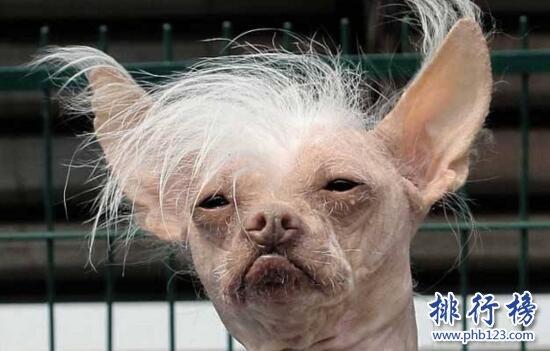 世界上最丑的狗品种:中国冠毛犬,常年包揽世界最丑犬冠军