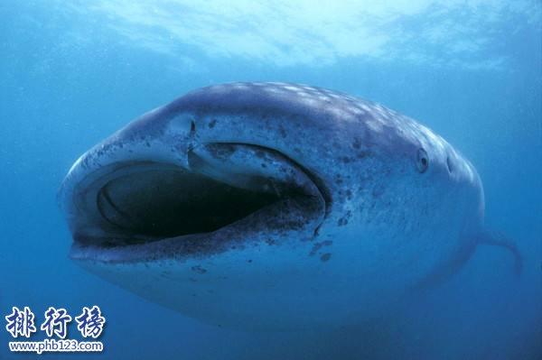 世界上最大的鲨鱼,鲸鲨体长可达20米体重25吨(掀翻无数游艇)