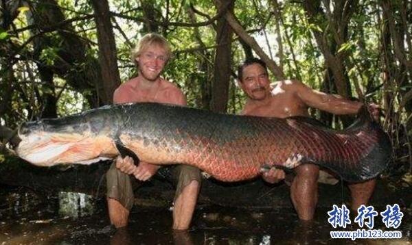 世界上最大的淡水鱼,巨型黄貂鱼重达0.36吨