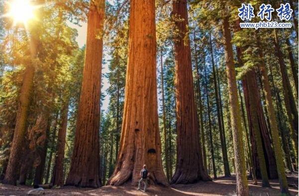 世界上最大的树:雪曼将军树高83.8,周长31米(总重量2800吨)
